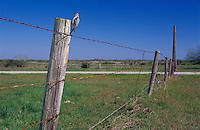 Ladder-backed Woodpecker, Picoides scalaris,female at cavity in fence post, Welder Wildlife Refuge, Sinton, Texas, USA