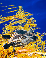 loggerhead sea turtle, Caretta caretta, hatchling, sheltering among sargassum weed, Sargassum sp., a brown algae, for protection in open water, Sargasso Sea, Atlantic Ocean