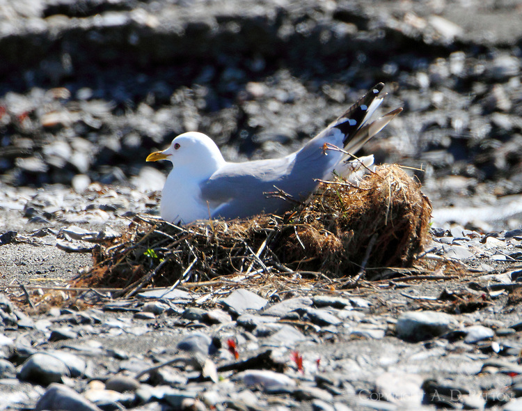 Mew gull on nest at Savage River in June