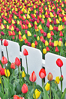 Tulips beds with white fence fence. Roozengaarde display garden. Mt. Vernon. Washington