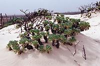 Plant on sand dune, Netherland Antilles, Caribbean, Atlantic, Bonaire, Bonaire, Washington Slagbaai National Park, Playa Chikitu