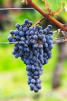 Bunches of ripe grapes. Cabernet Sauvignon. Chateau Reignac, Bordeaux, France