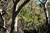 Tasmanian snow gums with understory along the Overland Track in the Cradle Mountain Lake St Clair National Park.