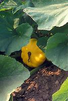 Pattypan Starburst summer squash in garden on plant growing in vegetable garden with soil showing