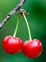 Two Sour cherries hanging of a tree branc