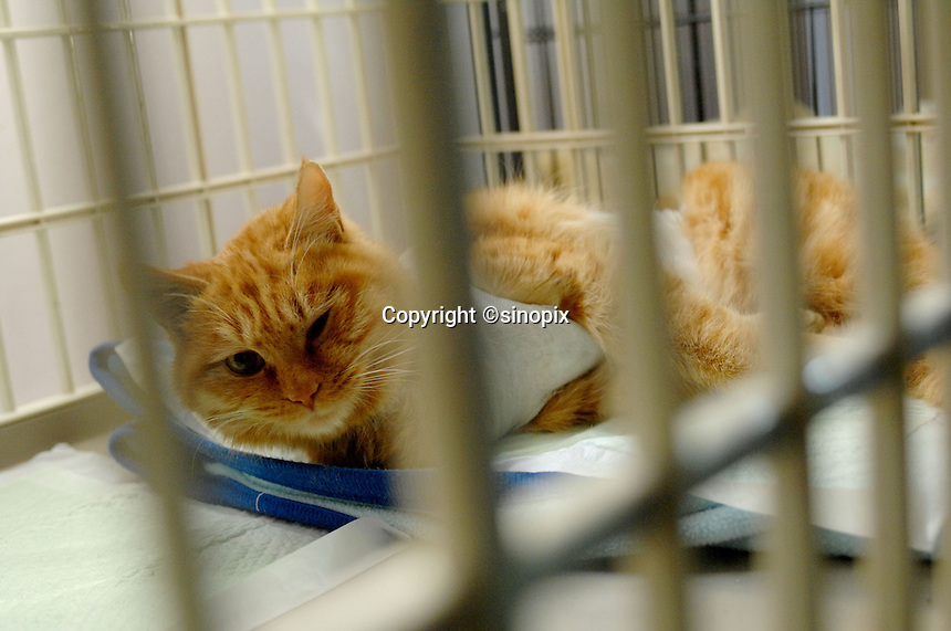 A rescued cat at the Lucky Cat Rescue Center in Beijing, China.  Cats are being abandoned in large numbers and are ending up in Government compounds where they slowly die. The Center tries to save the cats and find homes for them so they do end up in Government compounds.
