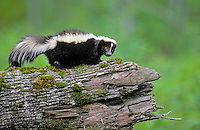 Striped Skunk - ranges through southern.Canada and most of USA. Spring..(Mephitis mephitis).