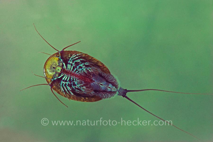 Rückenschaler, Urzeitkrebs, Triops cancriformis, tadpole shrimp