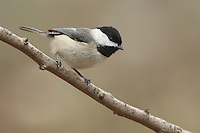 Chickadees may be found in any habitat that has trees or woody shrubs, from forests and woodlots to residential neighborhoods and parks, and sometimes weedy fields and cattail marshes. They frequently nest in birch or alder trees.