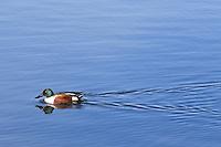 A male mallard swims along the calm surface of Lynx Lake