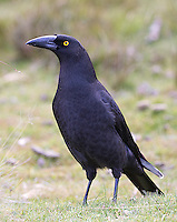 The black currawong is endemic to Tasmania and other nearby islands.