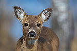 White-tailed fawn in spring.
