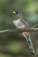 Elegant Trogon, Trogon elegans, female perched, Madera Canyon, Arizona, USA