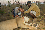 African Lion (Panthera leo) biologist, Caz Sanguinetti, and veterinarian, Kambwiri Banda, collaring six year old female lion, Kafue National Park, Zambia