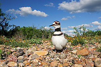 Killdeer (Charadrius vociferus), adult on nest with eggs, Laredo, Webb County, South Texas, USA