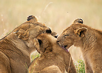 A female Lion, Panthera leo melanochaita, with two cubs in Maasai Mara National Reserve, Kenya