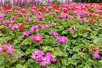 Yangzhou, Jiangsu, China.  Geraniums  in the Slender West Lake Park Garden.