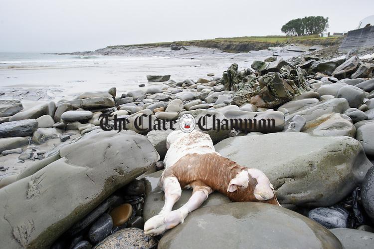 A calf carcass on the rocks at White Strand, Doonbeg. Photograph by John Kelly.