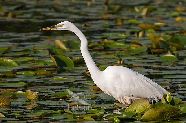 Great Egret (Ardea albus). Spring.  Lake Erie, North America.