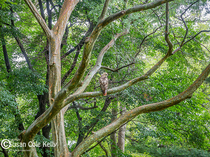 Red hawk in an elm tree at the Arnold Arboretum in the Jamaica Plain neighborhood, Boston, Massachusetts, USA