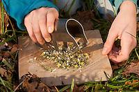 Gänseblümchen, Blätter und Blüten werden klein geschnitten, Bellis perennis, English Daisy, Pâquerette