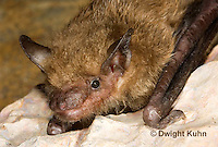 MA20-760z  Big Brown Bat close-up of face, eyes, ears and nose,  Eptesicus fuscus