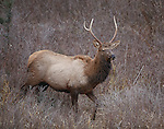 A young bull elk with a forked antler walking through brush in Montana