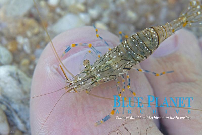 rock pool prawn, palaemon elegans, Aegean sea, Mediterranean