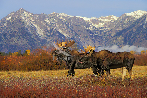 BULL MOOSE in autumn rut.  Antlers are displayed to indicate strength or power to rival bulls. Dominace Display. Rocky Mountains. Grand Teton National Park, Wyoming. U.S.A. Rocky Mountains. (Alces alces).