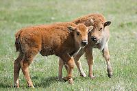 Buffalo Calves, Yellowstone National Park