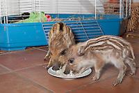 Wildschwein, verwaiste, pflegebedürftige, in Menschenhand gepflegte, zahme Jungtiere fressen in Milch aufgeweichten Zwieback vom Teller, Wild-Schwein, Schwarzwild, Schwarz-Wild, Frischling, Junges, Jungtier, Tierkind, Tierbaby, Tierbabies, Schwein, Sus scrofa, wild boar, pig