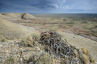 Ferruginous Hawk (Buteo regalis) nest made of sage bracnches on a bluff. Sublette County, Wyoming. May.