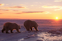 polar bear, Ursus maritimus, mother with subadult looking for food on the pack ice at sunset, 1002 coastal plain of the Arctic National Wildlife Refuge, Alaska, polar bear, Ursus maritimus