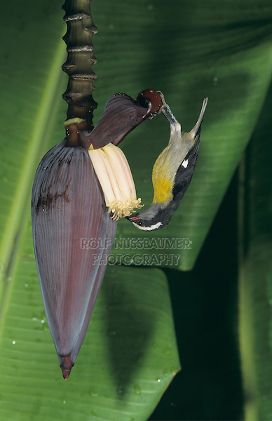 adult feeding on Banana blossom, Luquillo, Puerto Rico, USA, February 2003