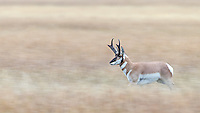 A pronghorn buck chases after females.