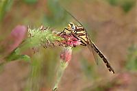 333910005 a wild teneral female cocoa clubtail dragonfly gomphus hybridus perches on crimson clover wildflower trifolium incarnatum in jasper county texas