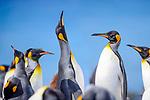 Adult king penguins (Aptenodytes patagonicus) displaying. Salisbury Plain, South Georgia, South Atlantic.
