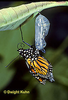 MO04-018z  Monarch Adult Butterfly emerging from chrysalis, Danaus plexipuss