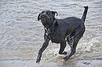 Black Labrador dog in sea water.....Copyright..John Eveson, Dinkling Green Farm, Whitewell, Clitheroe, Lancashire. BB7 3BN.01995 61280. 07973 482705.j.r.eveson@btinternet.com.www.johneveson.com