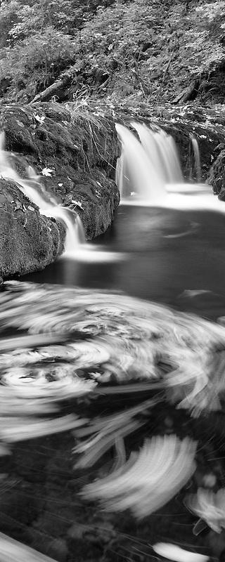 Big Leaf Maple leaves swirling in North Fork Silver Creek. Silver Falls State Park, Oregon.