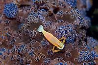 commensal shrimp, Periclimenes imperator, Izu ocean park, Sagami bay, Izu peninsula, Shizuoka, Japan, Pacific Ocean