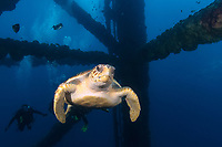 loggerhead sea turtle, Caretta caretta, swimming thru oil rig structure - pylongs, legs, Texas Flower Gardens National Marine Sanctuary, Texas, USA, Gulf of Mexico, Atlantic Ocean