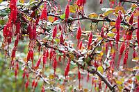 Red flowers of Ribes speciosum, Fuchsia-Flowering Gooseberry in California native plant garden