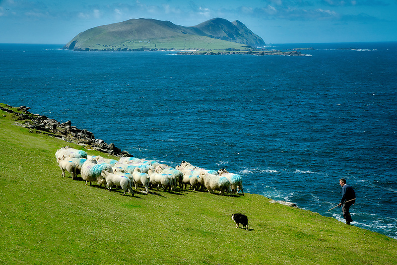 Sheep and shepherd on cliffs near Dunquin. County Kerry, Ireland