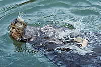 Southern sea otter (Enhydra lutris nereis) using tool--cracking clam on rock.  California.