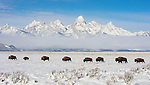 A long line of Bison trek through the snow beneath the Tetons in Grand Teton National Park, Wyoming.