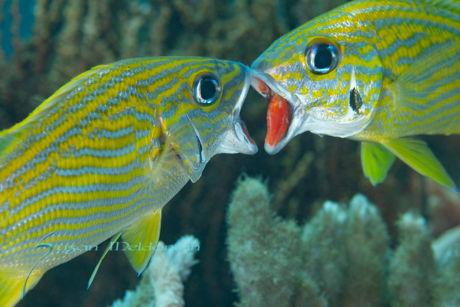French Grunts, Haemulon flavolineatum, red mouthing; Territorial mouth to mouth display