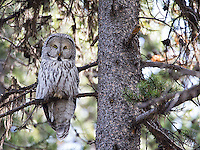 A very light morph great gray owl found in Yellowstone.  This one was still a juvenile, based on its pointed tail feathers.