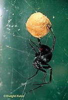 SI24-006d   Black Widow Spider with egg case - Latrudectus mactans