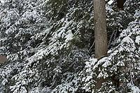 winter snow, Arnold Arboretum, Boston, MA